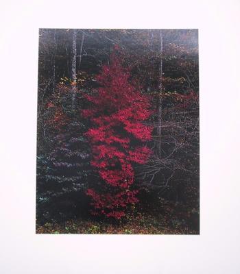 Red Tree Near Cades Cove