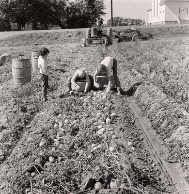 Potato Farming, Aroostook County, Maine