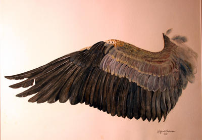 WING OF THE GREAT BLUE HERON