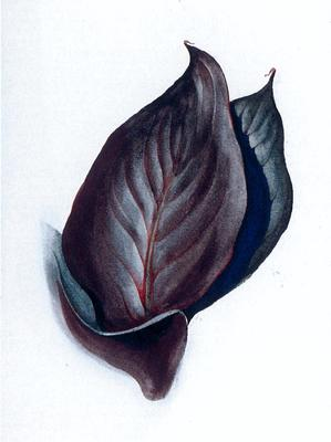 Special No. 38 (Canna Leaves)