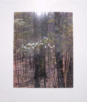 Dogwood and Oak Trees