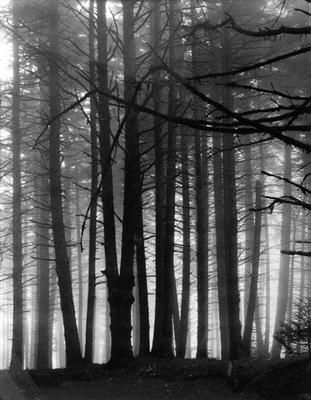 Spruce Trees in Fog, Great Spruce Head Island, Maine, August 20, 1954