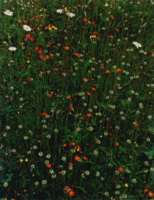 "Hawkweed in Meadow, Great Spruce Head Island, Maine, 1968 from ""In Wildness"" Portfolio"