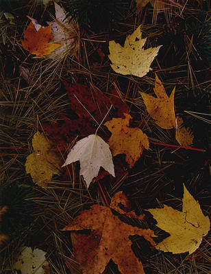 "Maple Leaves and Pine Needles, Tamworth, New Hampshire, October 3, 1956 from ""In Wildness"" Portfolio"