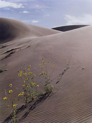 "Sunflower and Sanddune, Colorado, 1959 from ""In Wildness"" Portfolio"