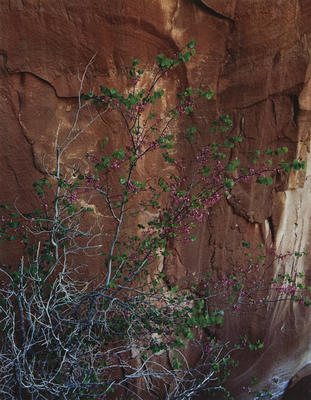 "Redbud in Bloom, Hidden Passage, Glen Canyon, April 10, 1963 from ""Glen Canyon"" Portfolio"