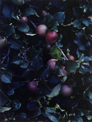"Apples, Great Spruce Head Island, Maine, 1942 from ""Certain Passages"" Portfolio"
