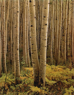 "Aspens, Colorado, 1959 from ""Certain Passages"" Portfolio"