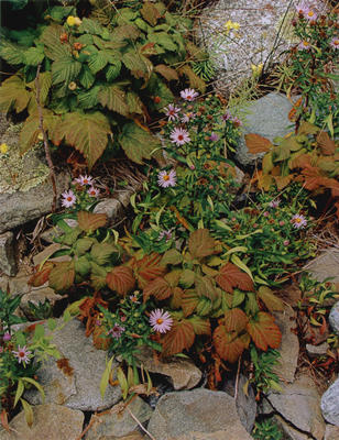 "Asters and Raspberries, Oak Island, Maine, 1973 from ""Certain Passages"" Portfolio"