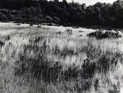 Unmowed Grass