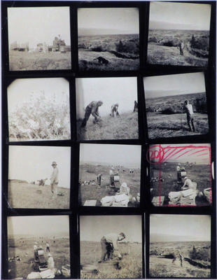 Untitled (Blueberry harvest, Dodge's Mountain)