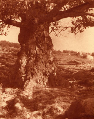 A White Oak Bole