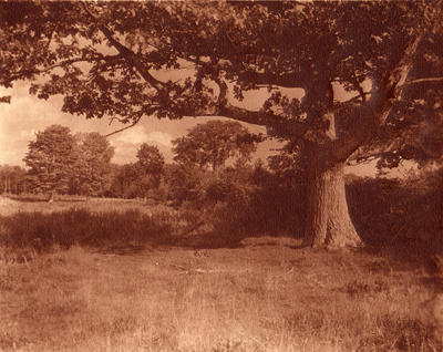 Wide Spreading Oak