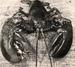 Maine Lobster, Monhegan Island
